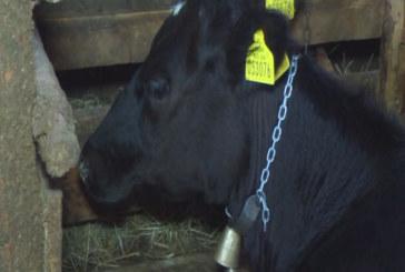 Жива верига в Абланица срещу евтаназия на стадо крави