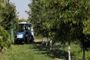 Черешопроизводителите в Кюстендил бесни на МЗХ: По дърветата няма кьорав плод, те ще ни плащат обезщетение по 28 ст. на килограм