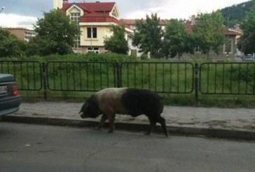 Прасе ескортира абитуриенти из улиците на Кюстендил