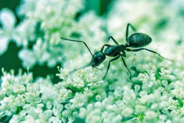 Да прогоним мравките с природни средства