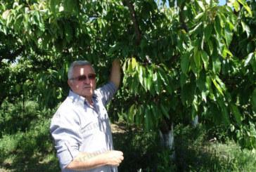 Собственикът на ябълкови и черешови градини в кюстендилското село Скриняно Ат. Кунчев: Реколтата от плодове тази година ще е слаба и с високи цени