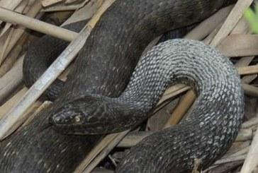17 вида змии в България, само 5 са отровни