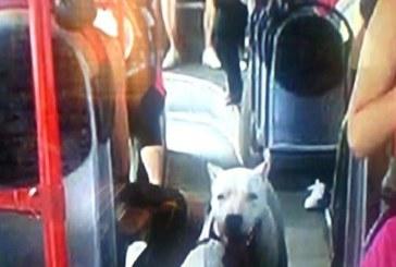 Кошмар в столичния градски транспорт! Пътници в ужас – пътуват с куче без наморник