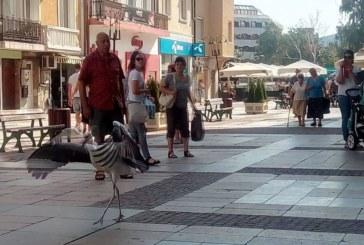 ЛЮБОПИТНА СЛУЧКА! Щъркел се разходи пред ГУМ в Дупница, заловиха го кучкари