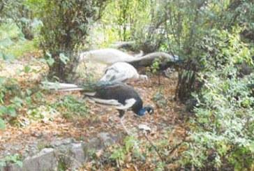 СЛЕД 3 МЕСЕЦА ОПИТОМЯВАНЕ! 16 пауна се разхождат свободно в парка на Сандански