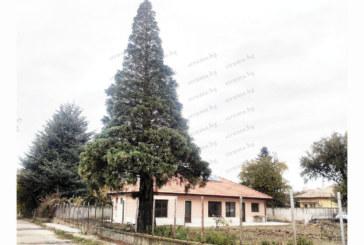Майстор на кебапчета от Дупница купи имот в Джерман с уникална секвоя, висока 20 м