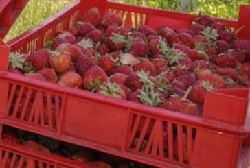 Испания търси наши берачи на ягоди! Има 600 свободни места