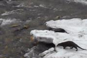 УНИКАЛНИ КАДРИ! Видра ловува в р. Бистрица край Бачиново