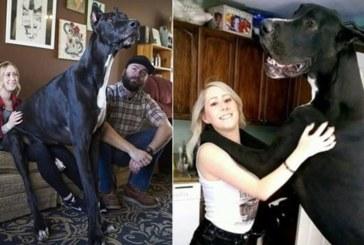 Ето го най-високото куче в света – 213 сантиметра