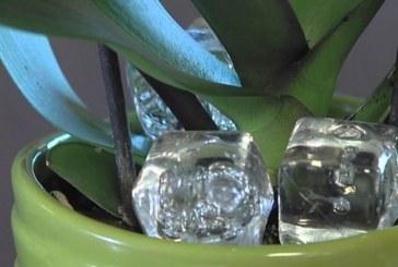 Лесен трик с лед ще накара орхидеята ви да цъфне