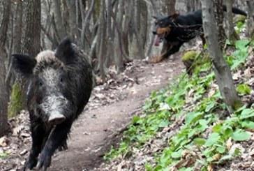 Конфуз  на годишните квалификации в Кресна! 140-кг Пурко избяга от гатера в Кресна и провали състезанието на ловците от Югозапада