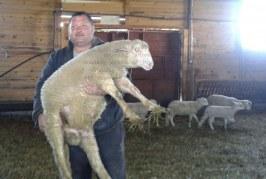 ЖИВОТНОВЪДИ ОТ РАЗЛОГ: Цената на агнешкото в магазина НЕ трябва да е повече от 10 лв., месото тръгва от нас на 5 лв.