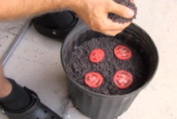Той постави 4 резена домат в саксия и ги засипа с пръст. Това, което се случи след няколко дни ще ви изненада! ВИДЕО