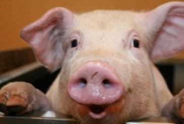 Наш фермер направи невероятен фурор! Разпродаде прасенца по 20 000 евро едното