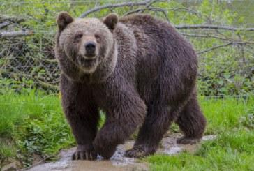 ШОК! Кафява мечка броди около Радомир
