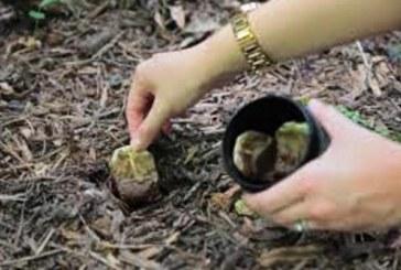 Дядо всяка пролет заравяше няколко пакетчета чай в почвата! Като разберете защо ще го правите и вие!