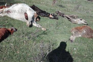 ШОКИРАЩА ГЛЕДКА! Трупове на 5 крави изхвърлени в туристическата зона в Разлог