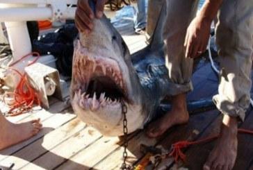 Гръцки рибари уловиха седемметрова акула