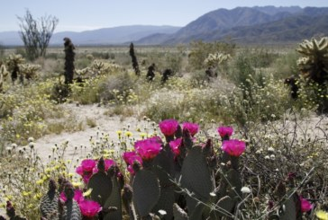Природно шоу! Спящи от години пустинни цветя разцъфнаха