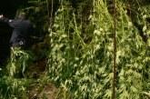 Някой се изхитри! Засади канабис в коритото на р. Луда Мара в Петрич