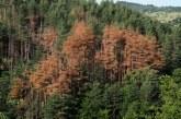 Тревожно! Над 9000 дка гори в Югозапада съхнат заради върхов корояд