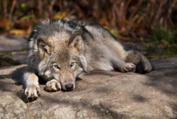 Жители на Бачево в паника от вилнеещи в района вълци, две кончета удушени и изядени