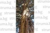 Мълния разцепи 30-метрова секвоя, клони летят на 10 м