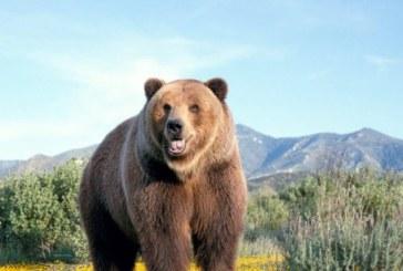 Опасност от нападения от мечки в Югозапада! Препоръки към пастирите: носете лютив спрей за защита
