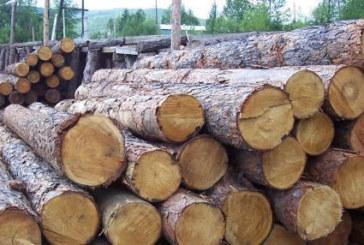 Спипаха незаконно отсечена и приготвена за кражба елитна иглолистна дървесина