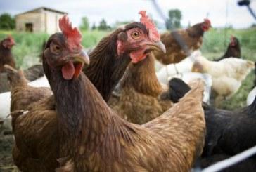 Убиха 1500 домашни птици заради псевдочума