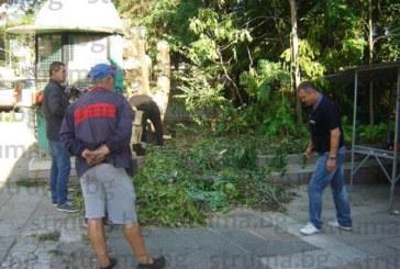 Отрязаха опасното дърво на пазара, помляло джипа на златарката Величка Начева-Чечи