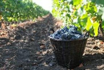 """Петричани излязоха на гроздобер две седмици преди срока за бране на """"Широка мелнишка"""""""