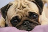 Най-подходящите породи кучета за отглеждане в апартамент