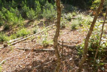 Опасна находка! Ченгетата изкорениха нива с канабис в Югозапада