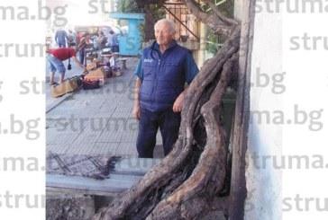 Лоза гигант 70 години дарява с плодовете си семейството на учителя пенсионер от Кресна Ал. Спасов