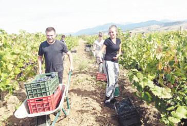 В РАЗГАРА НА КАМПАНИЯТА! Собствениците на лозя в Санданско берат гроздето по списъци, клиентите го купуват направо от масивите