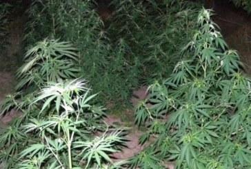 Полицаи ожънаха нива с канабис в Кресненско