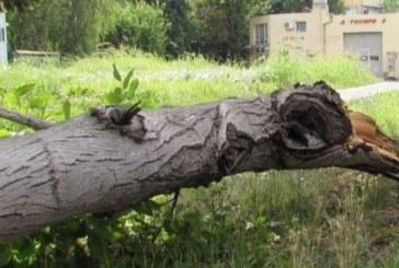 Дърво се стовари на улицата! Жена се отърва на косъм