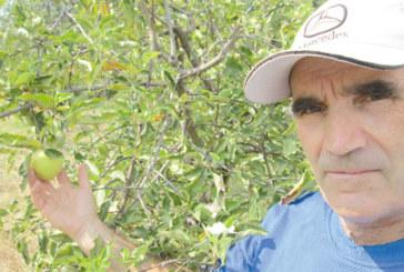 """Ябълка в двора на църквата в санданското село Дамяница цъфтя през август, завърза плод посред есен, """"сух студ ни чака"""", прогнозира благоевградският овощар Н. Георгиев"""