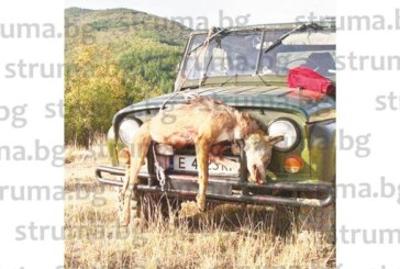ГОЛЯМА СЛУКА! Лекар от Сандански повали вълк, бивш полицай и синът му отстреляха най-голямото прасе