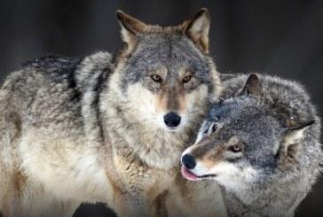 НАШЕСТВИЕ! Вълци нападнаха четири сандански села, изядоха 15 овце и кози, стигнаха до къщите
