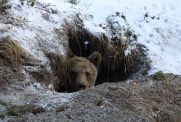 Паркът за танцуващи мечки край Белица затваря, обитателите заспаха