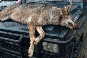 Отстреляха вълчица в разложкото село Елешница