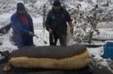 ЗАПОЧНА НАЙ-ВАЖНИЯТ РИТУАЛ В ЮГОЗАПАДА! Гътнаха 270-кг прасе, вижте какво направи стопанинът