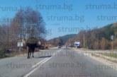 ЧИТАТЕЛИ СИГНАЛИЗИРАТ! Стадо крави се разхожда по пътя Разлог-Гоце Делчев, създава предпоставки за катастрофи, няма ли кой да вразуми безотговорните животновъди?