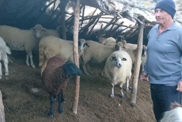 ГЛУТНИЦА АТАКУВА! Вълци нападнаха стадо край Сандански, убиха 3 ярета, пет агнета и теле, овчар изтръгна с ръце от хищниците едно животно, сега го лекува