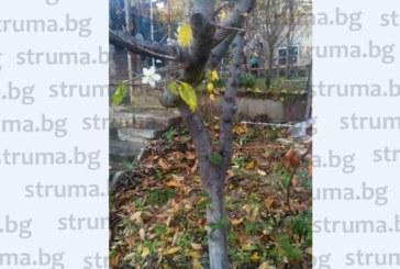 Банарлията в двора на зеления активист Г. Стойчев-Бъзи цъфна с първия сняг, предвещава богата реколта догодина