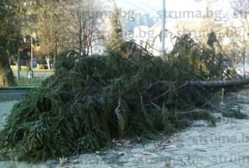 Огромна ела рухна в центъра на Гоце Делчев