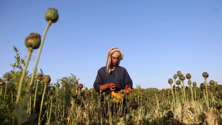 Афганистан постигна рекорд по производството на опиумен мак