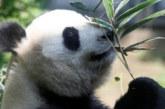 В зоопарка в Токио най-накрая показаха бебето панда